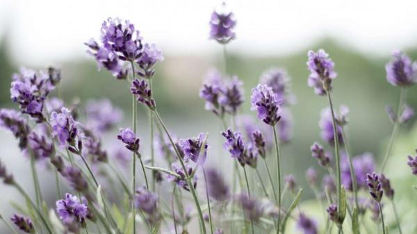 How to grow lavender at home https://organicgardeningeek.com