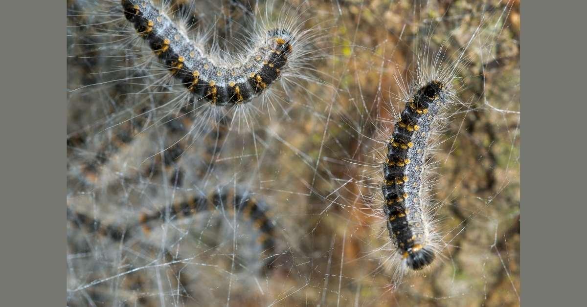 Oak processionary moth poisonous hairs https://organicgardeningeek.com