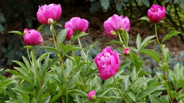 How to plant and grow peony flowers - perennials https://organicgardeningeek.com