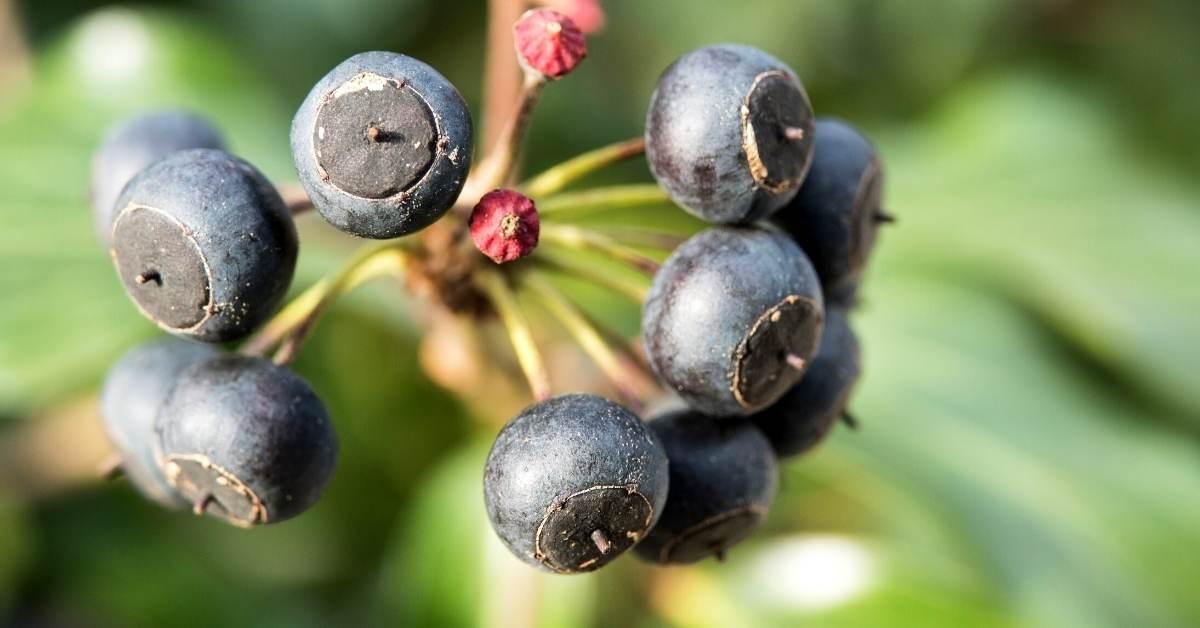 When is ivy poisonous? https://organicgardeningeek.com