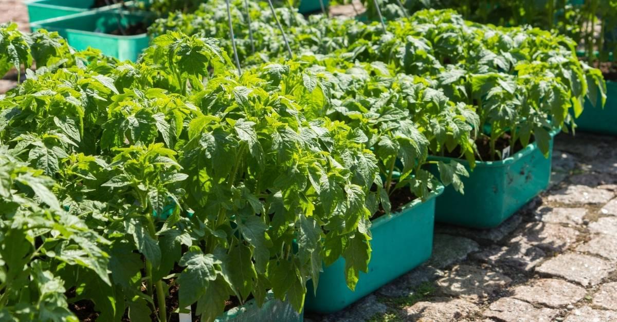 Growing tomato in a container https://organicgardeningeek.com