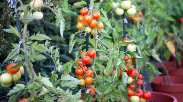 detailed information the best tomato soil preparation https://organicgardeningeek.com
