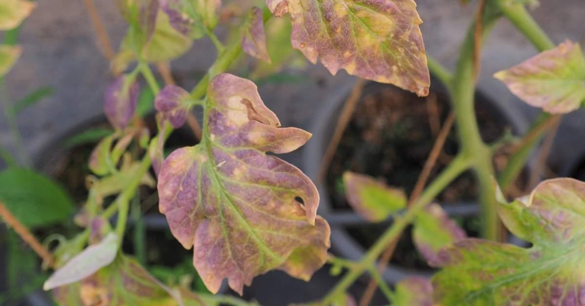 Iron deficiency symptoms on tomato plants  - essential nutrition for tomato plants https://organicgardeningeek.com