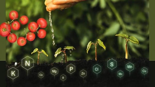 tomato plants needed nutrient and elements https://organicgardeningeek.com