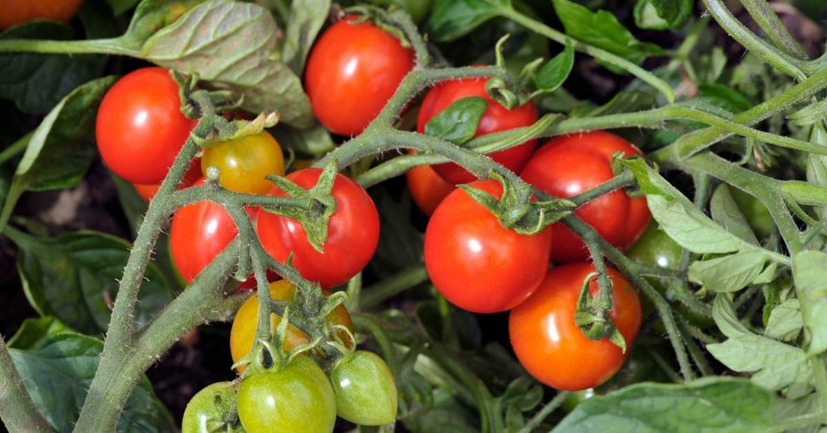 Critical Major Mineral Elements for tomato plants https://organicgardeningeek.com