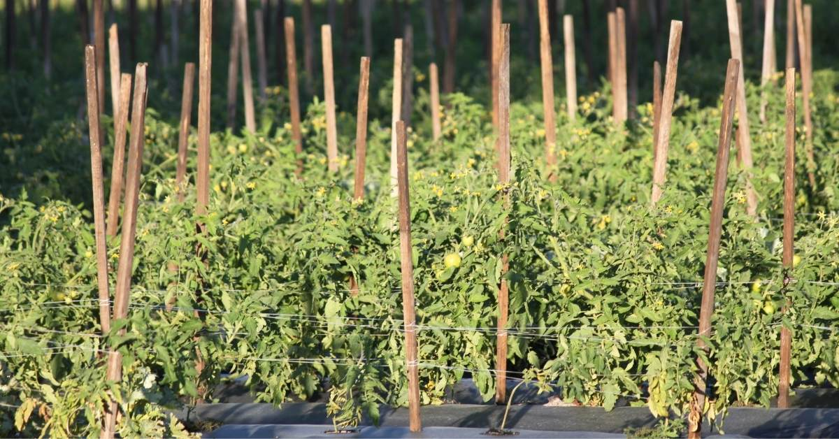 Essential Structural Elements for Successful Tomato Plant Growth https://organicgardeningeek.com