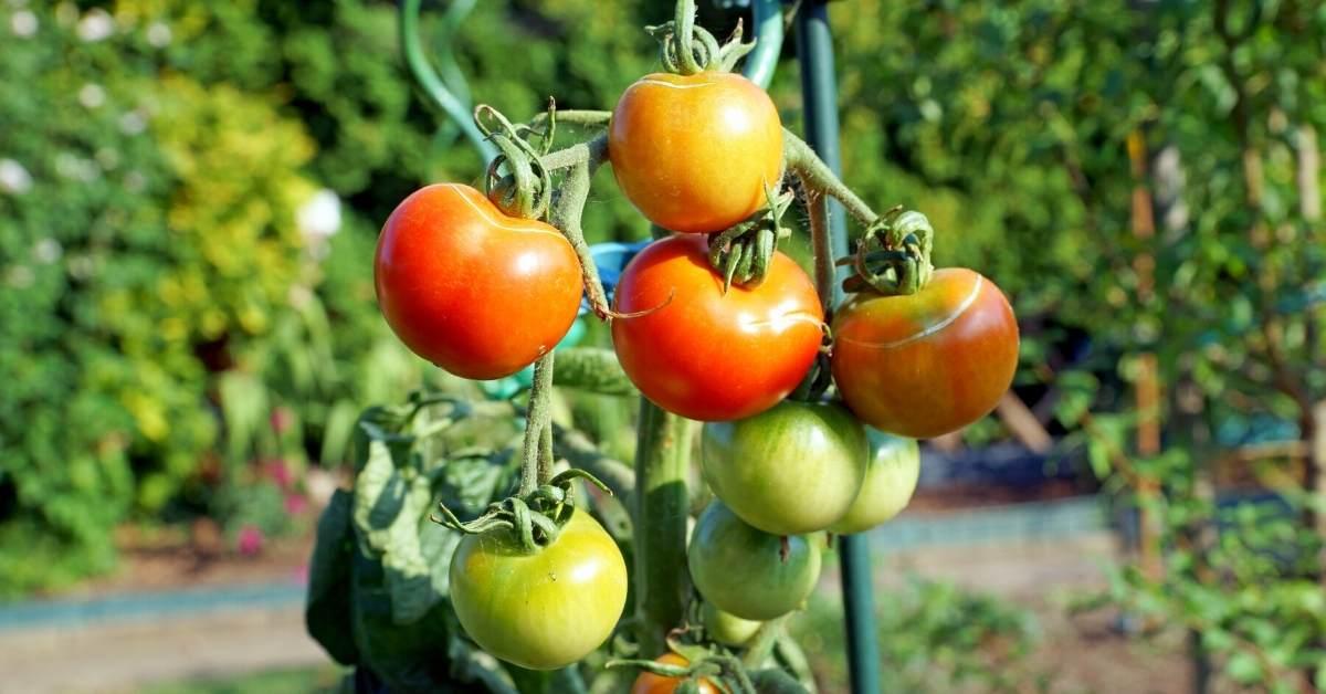 Tomato Plant Sensitivities Against Sunlight https://organicgardeningeek.com