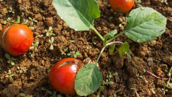 Tomato plant sensitiveness againist environmental factors https://organicgardeningeek.com