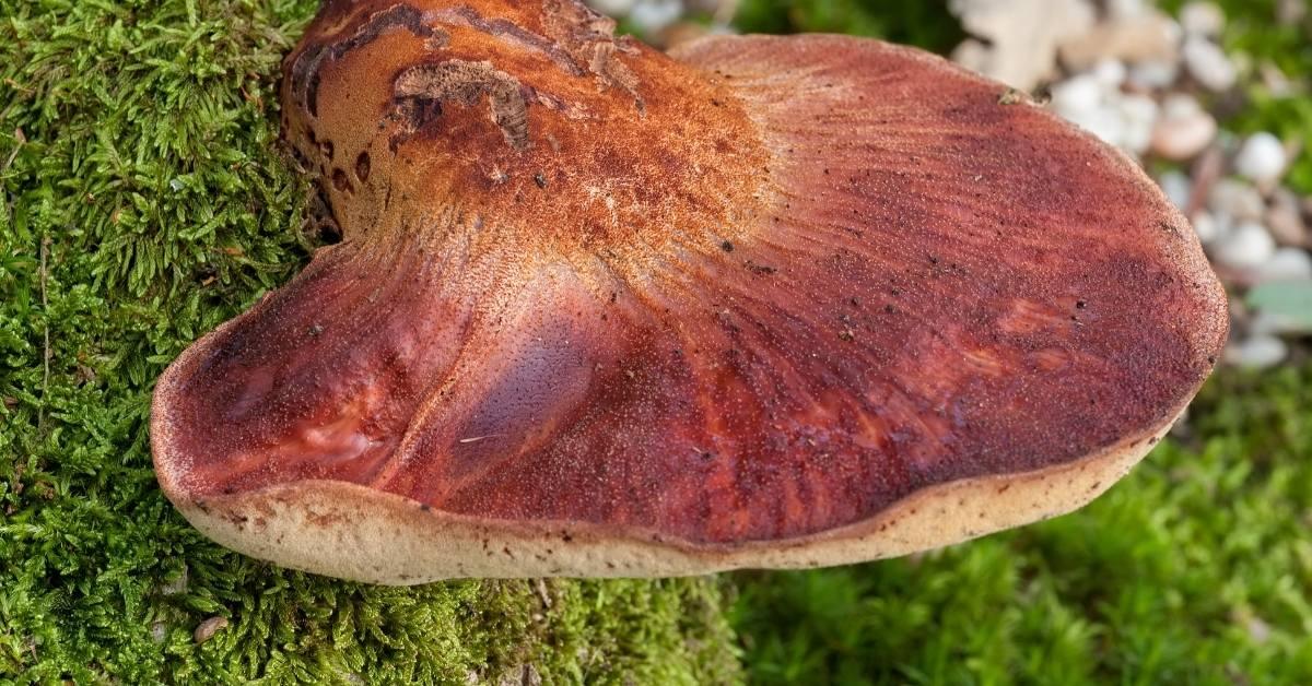 Beefsteak Fungus https://organicgardeningeek.com