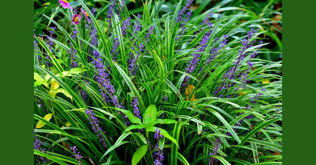 Here's the specifications and how to grow this tough groundcover Creeping Lilyturf: https://organicgardeningeek.com