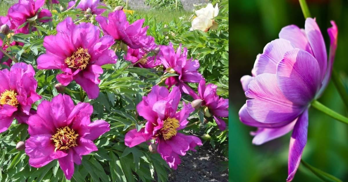 Itoh Peonies morning lilac https://organicgardeningeek.com