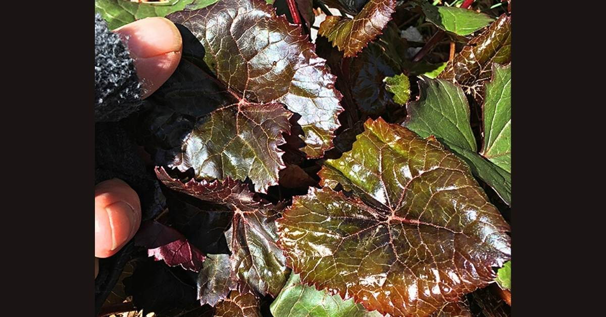 Frost Proof Ligularia Foliage: Ligularia-dentata-Britt-Marie-Crawford https://organicgardeningeek.com
