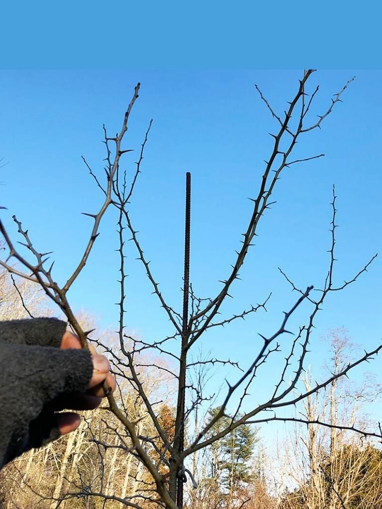 Osage Orange Tree 101: How To Care For Maclura pomifera In Winter https://organicgardeningeek.com
