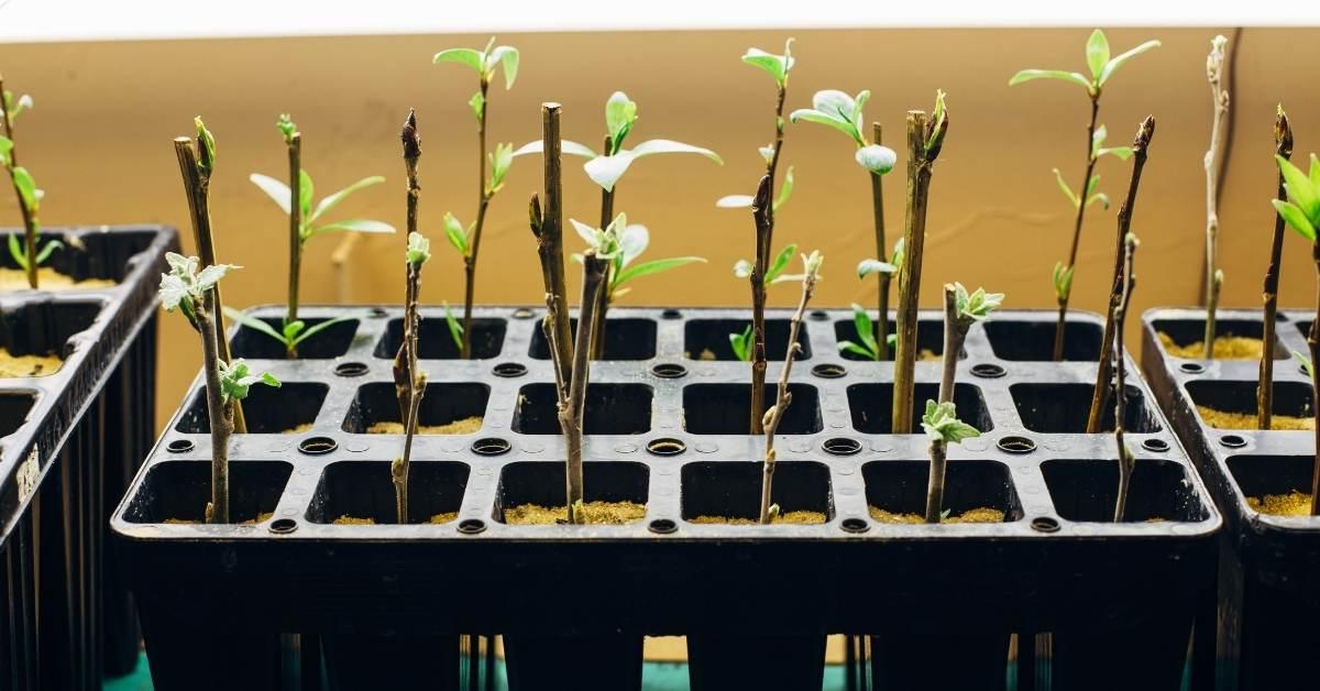 Rooting Cuttings From Gardenia's https://organicgardeningeek.com