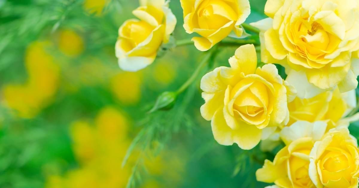 10 Time Saving Rose Gardening Tips https://organicgardeningeek.com