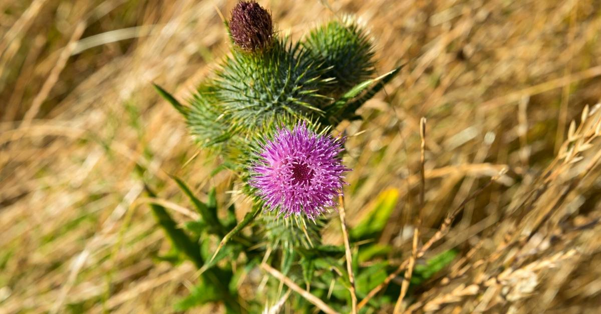 Scotch Thistle - All about sustainable and organic gardening tips and tricks. 2021 - Scotch thistle,Onopordum acanthium,is scotch thistle perennial,Onopordum,Partner Plants for scotch thistle - https://organicgardeningeek.com/scotch-thistle-onopordum-acanthium/
