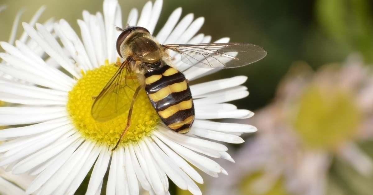 Sweat bees are important pollinators https://organicgardeningeek.com