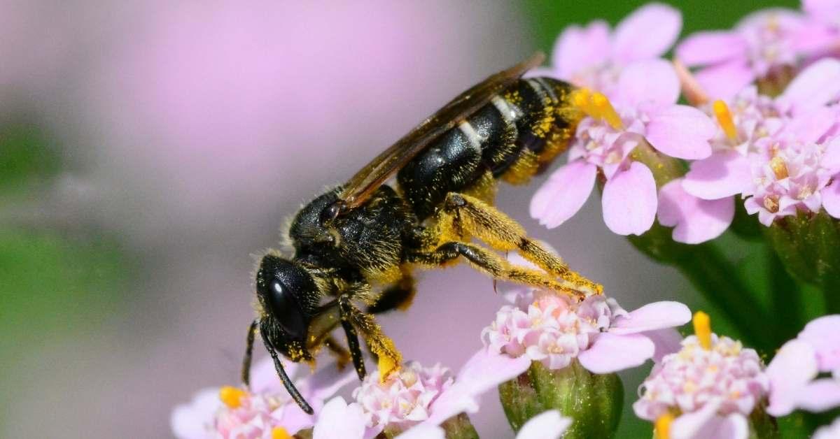 Do sweat bees sting?  How do you get rid of sweat bees?https://organicgardeningeek.com