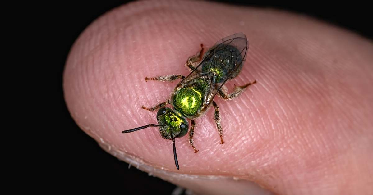 What is a Sweat Bee and how to keep sweat bees away?https://organicgardeningeek.com