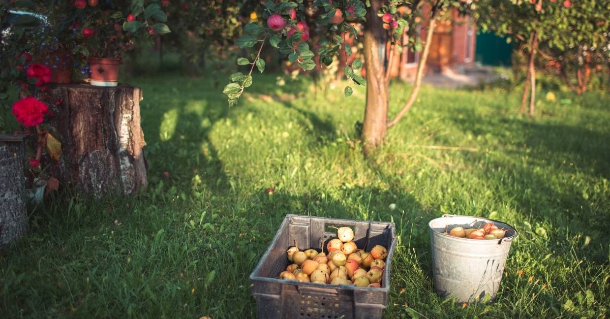 garden yield 1 - All about sustainable and organic gardening tips and tricks. 2021 - Spring Pruning,spring pruning roses,spring pruning clematis,honeysuckle pruning,Best Time To Prune Bushes - https://organicgardeningeek.com/spring-pruning-best-time-to-prune-bushes/
