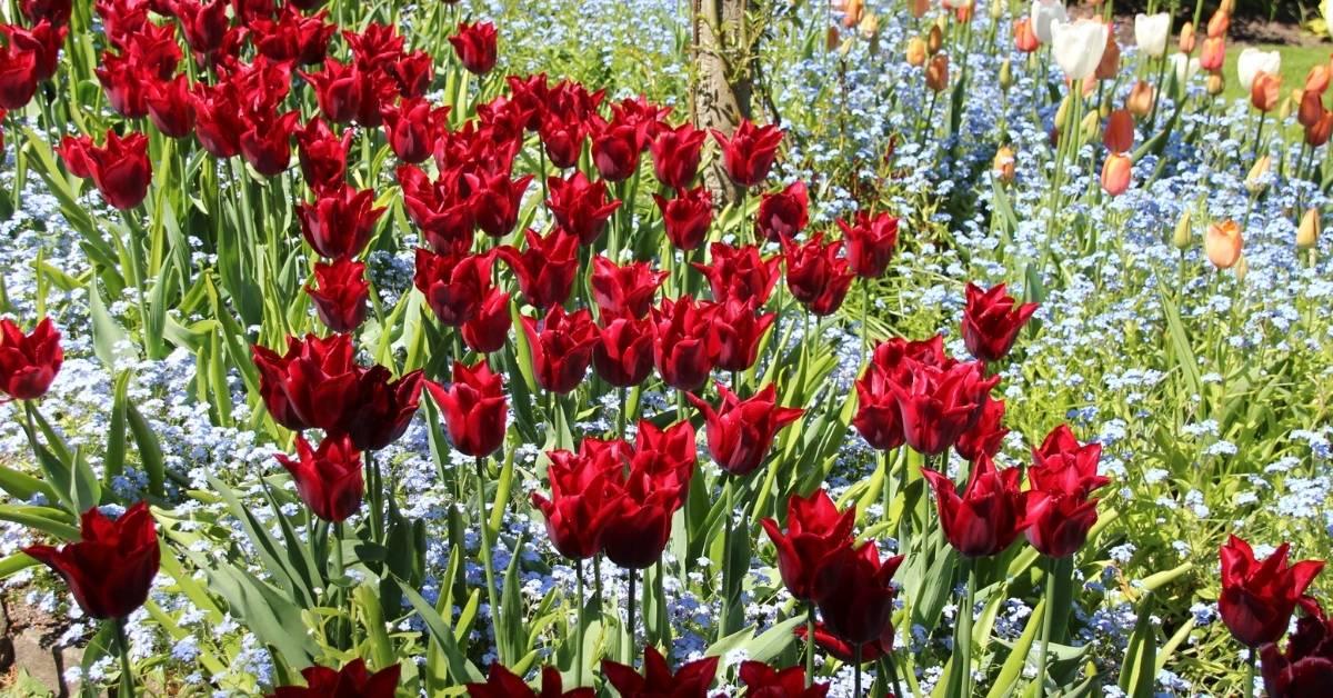 growing tulips in autumn https://orgnicgardeningeek.com