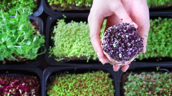 What are microgreens? Sprouts vs microgreens https://organicgardeningeek.com