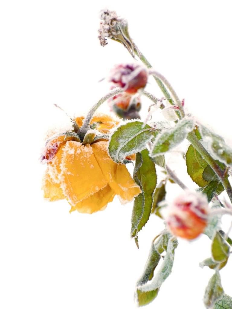 Winter Rose Gardening: How To Care For Roses In Winter https://organicgardeningeek.com