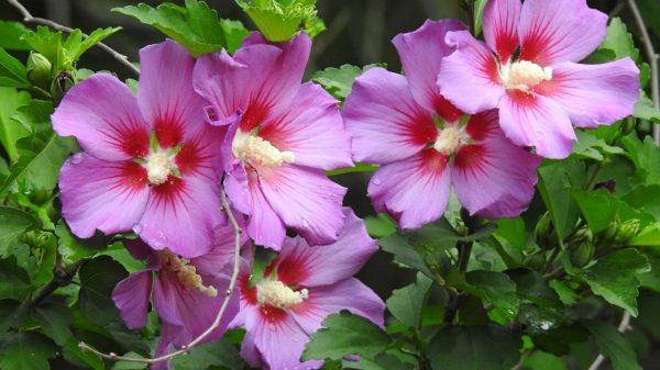 rose of sharon - hibiscus faded help https://organicgardeningeek.com