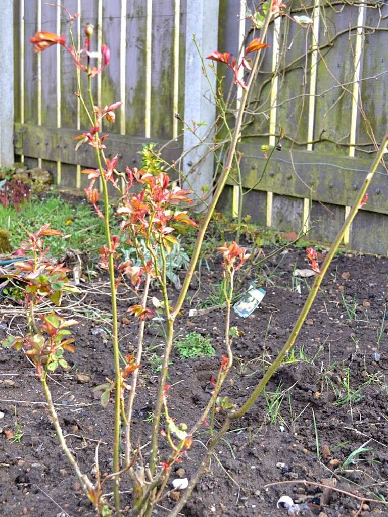 This rose had already been reduced in size by about half, last autumn. This is how it looked before pruning at the end of March. https://organicgardeningeek.com