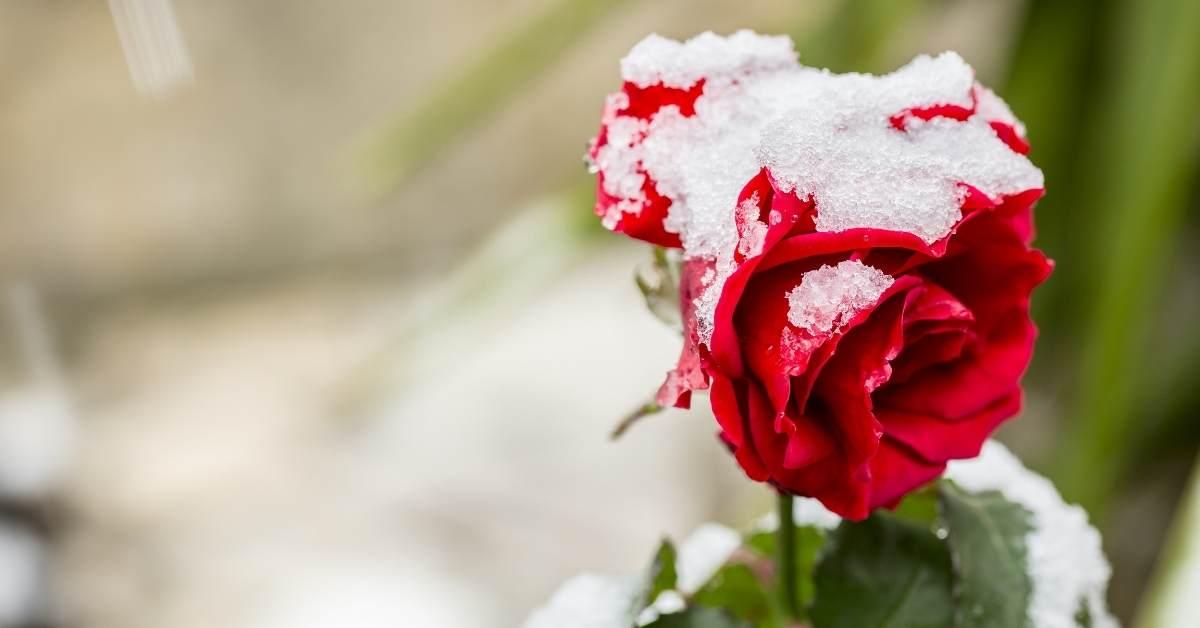 winter rose gardening https://organicgardeningeek.com